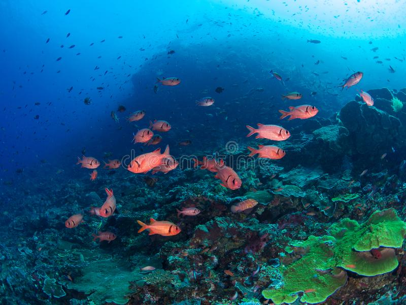 Epaulette soldierfish σε ένα μπλε κλίμα στοκ εικόνες με δικαίωμα ελεύθερης χρήσης