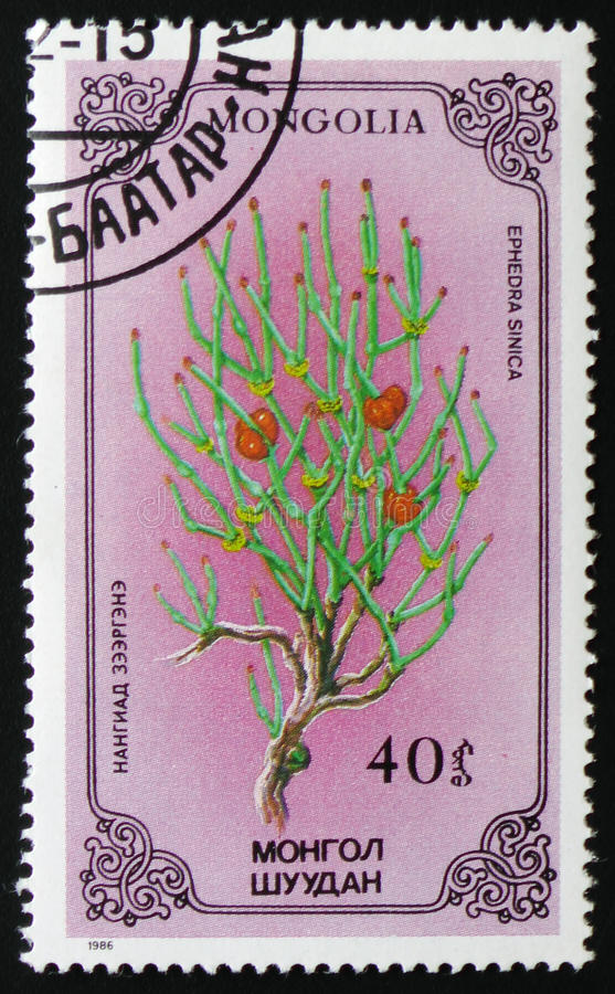 Ephedra sinica or chinese ephedra, series devoted to flowers, circa 1986. MOSCOW, RUSSIA - FEBRUARY 19, 2017: A stamp printed in Mongolia shows Ephedra sinica or royalty free stock photography