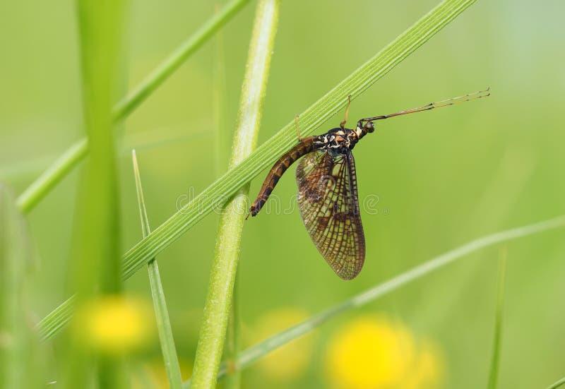 Ephemera в траве стоковое фото rf