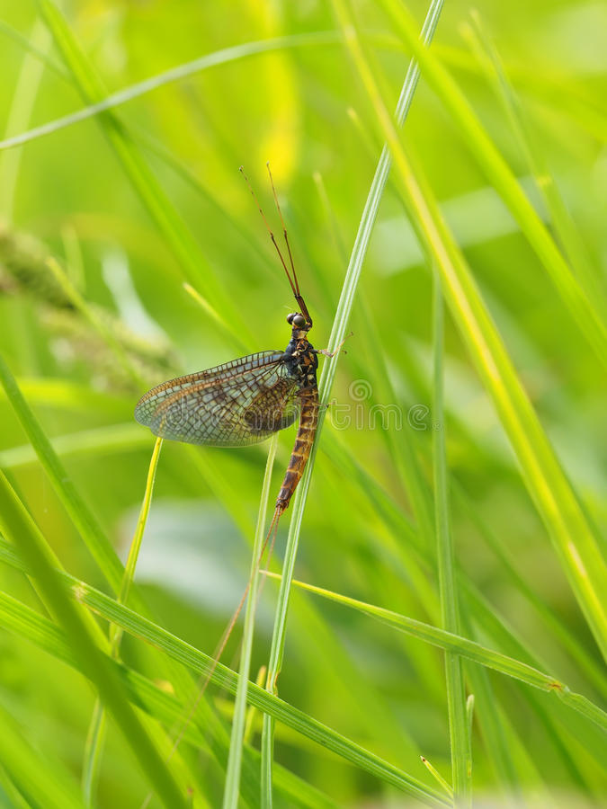 Ephemera в траве стоковая фотография rf