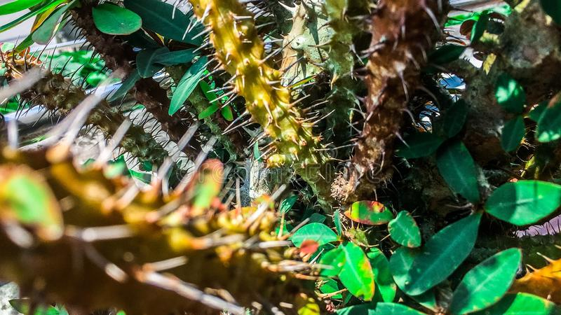 Ephorbia della foglia di verde del vaso di fiore immagini stock libere da diritti
