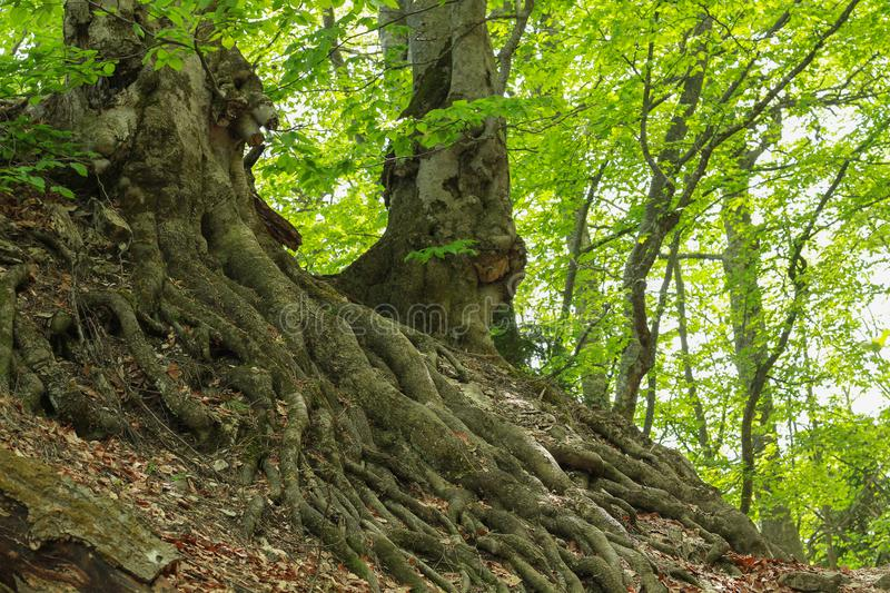 Epic Ash Tree roots stock image