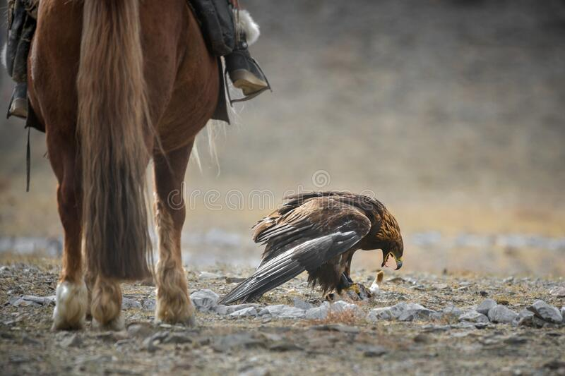 Epic Shot Of A Golden Eagle Tearing Its Prey Near The Horse`s Legs.Mongolian Trained Bird Caught A Hare.Ancient Traditions Of Mong royalty free stock photo