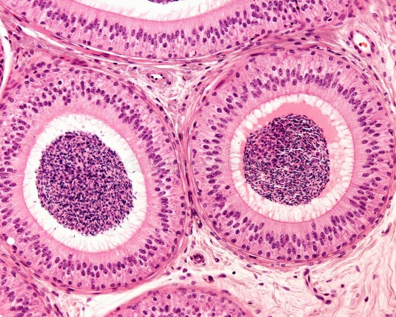 Epidídimo Epitelio de Pseudostratified fotos de archivo