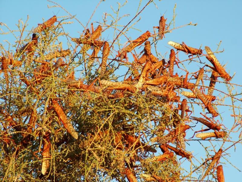 Epidemi av gräshoppor i det heliga landet royaltyfri foto