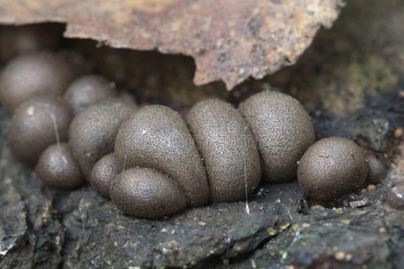 Epidendrum de Lycogala images libres de droits