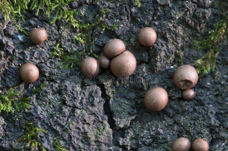 Epidendrum de Lycogala photos stock