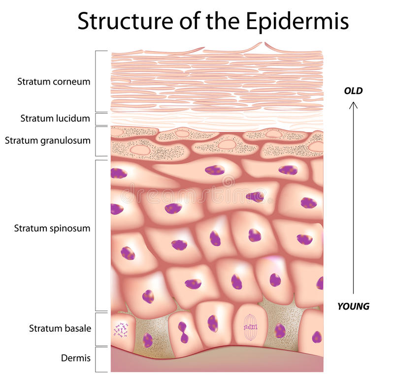 Epidermis of the skin stock illustration