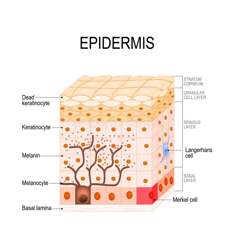 Epidermis structure. Cell, and layers of a human skin. Vector illustration for medical, educational, biologycal and science use. Skin care stock illustration