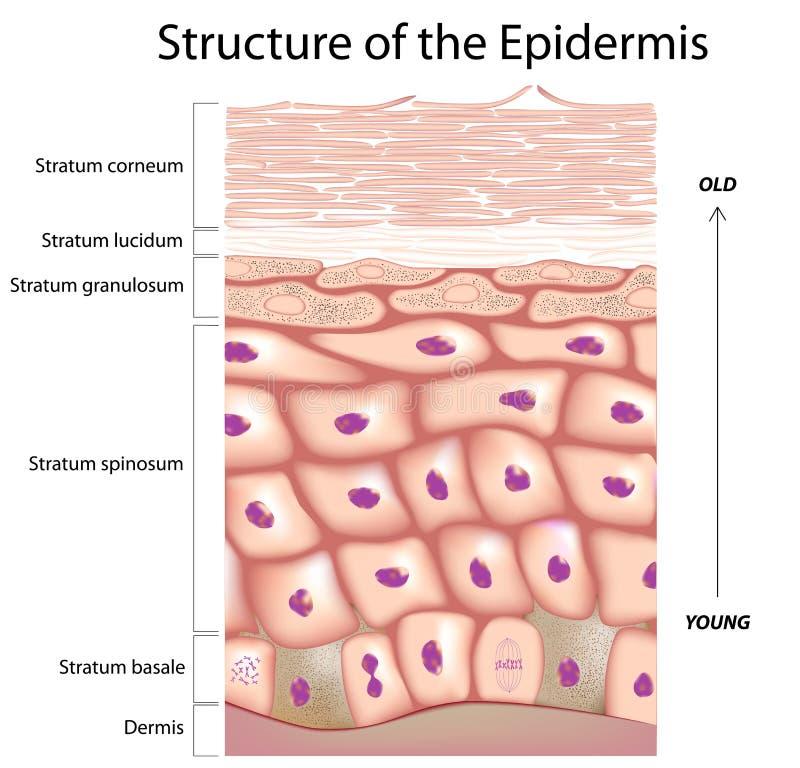 Epidermis van de huid stock illustratie