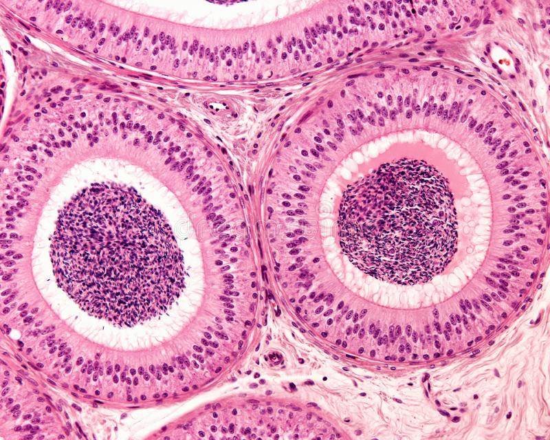Epididymis Pseudostratified epitel arkivfoton