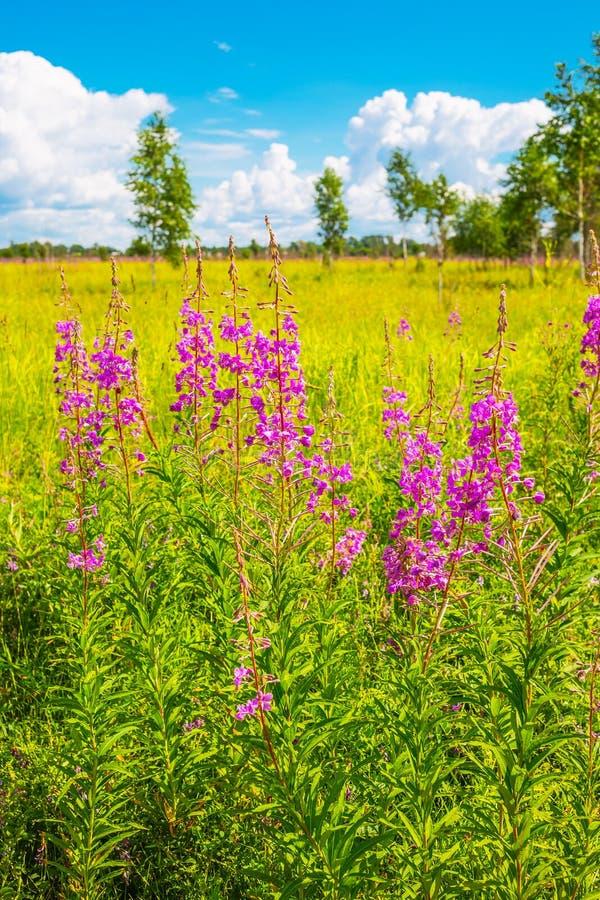 Free Epilobium Angustifolium, Ivan Tea Lat. Epilobium — Grass Is Stock Images - 107101504