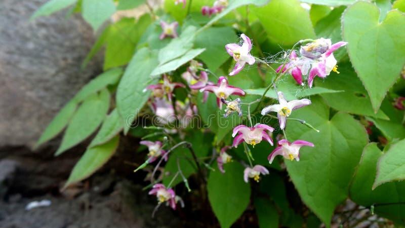 Epimedium floreciente en rockaria de la primavera en un d?a claro fotografía de archivo