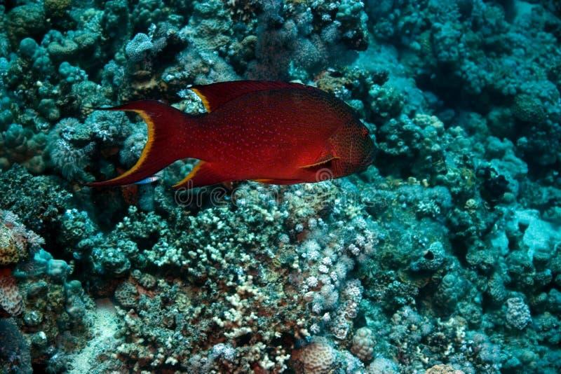 Epinefolo di corallo del Mar Rosso (pessuliferus di plecropomus) fotografia stock