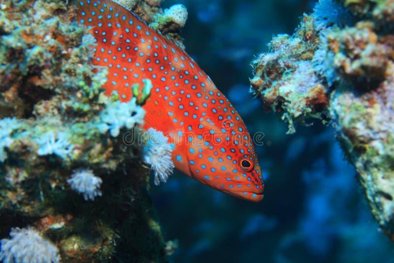 Epinefolo posteriore di corallo fotografie stock libere da diritti