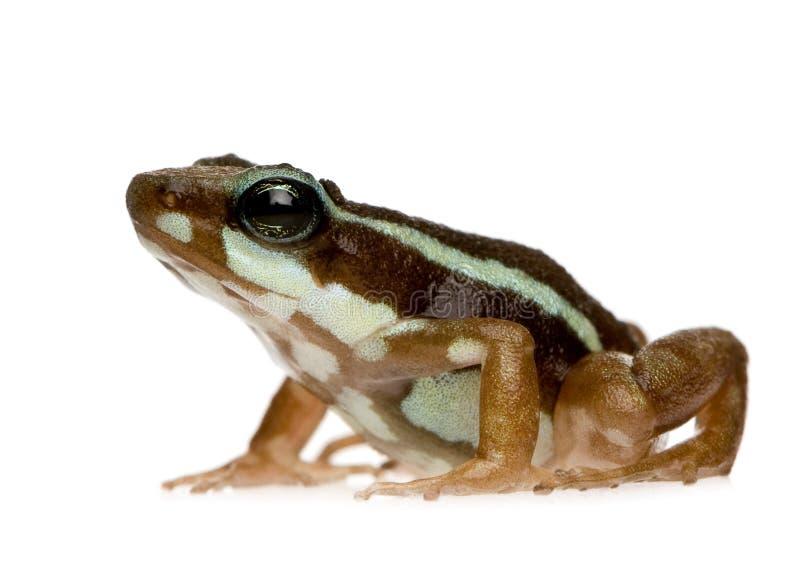 epipedobates żaby phantasmal trucizna tricolor obrazy stock