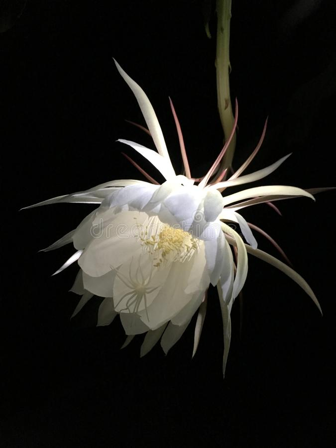 Epiphyllum_1 royaltyfri fotografi