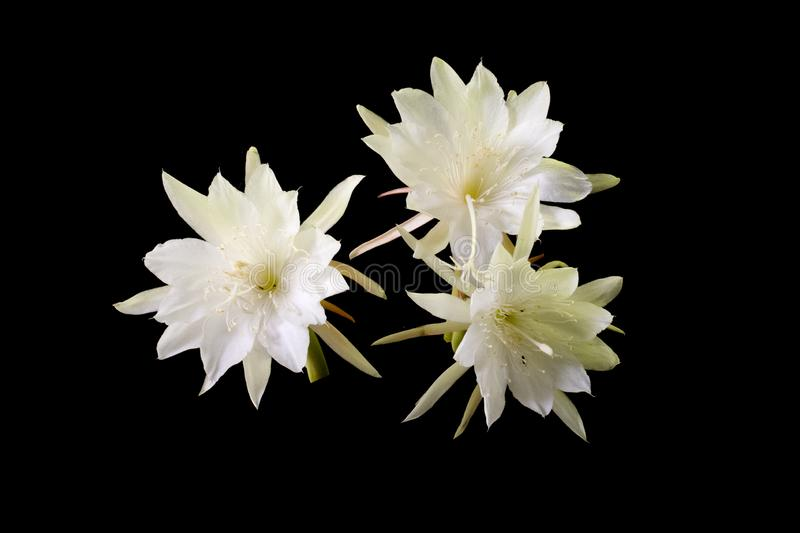 Epiphyllum anguliger commonly known as the fishbone cactus or zig zag cactus black background stock photo