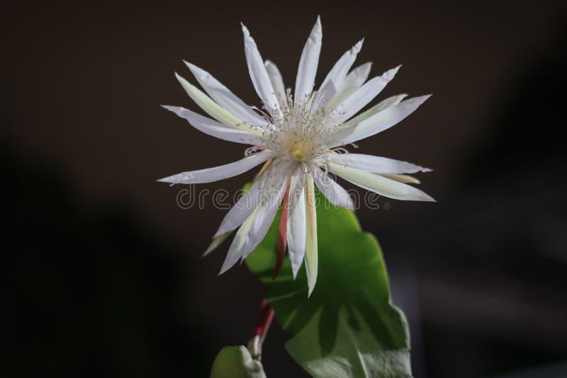 Epiphyllum anguliger nocy królowej rzadki kwiat zdjęcie stock