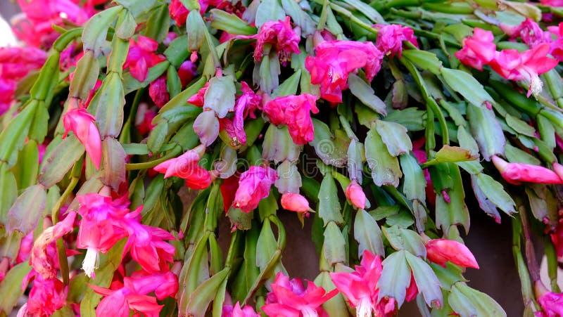 Epiphyllum crenatum jest t?ustoszowatym epiphyte, tak?e zna? jako storczykowy kaktus nale?ny sw?j colourful okwitni?cia zdjęcie stock
