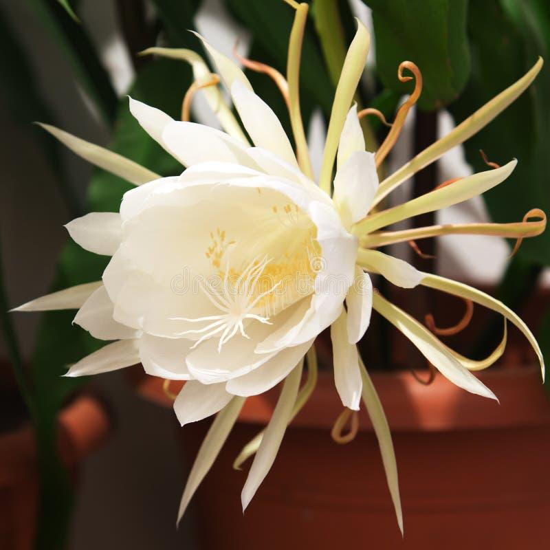 Download Epiphyllum Oxypetalum obraz stock. Obraz złożonej z zakończenie - 57656929