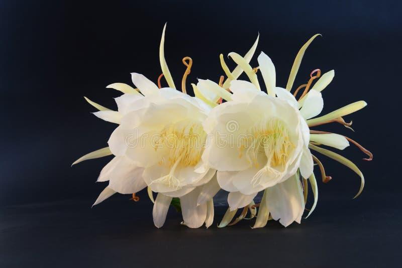 Download Epiphyllum Oxypetalum obraz stock. Obraz złożonej z piękny - 57660963