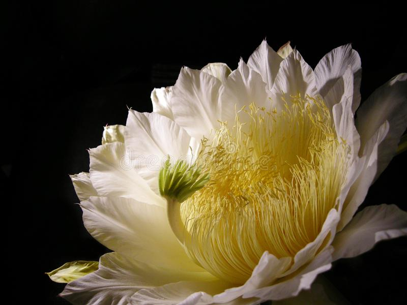 Queen of the night, Epiphyllum oxypetalum, dama de noche royalty free stock images