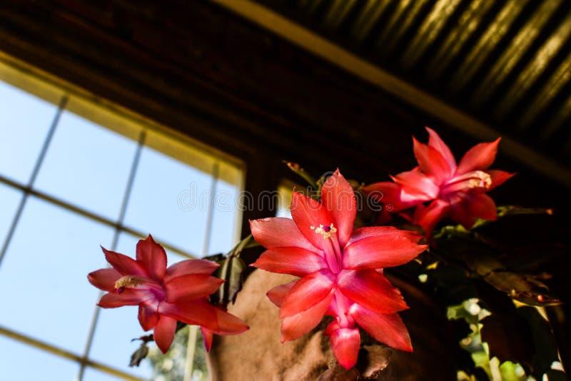 Epiphyllum, teresita de santa imagenes de archivo