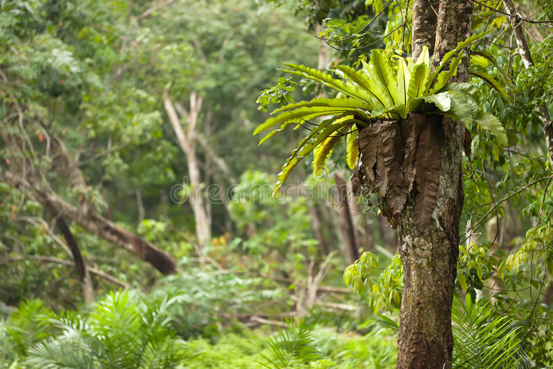 epiphyte φτέρη τροπική στοκ εικόνες
