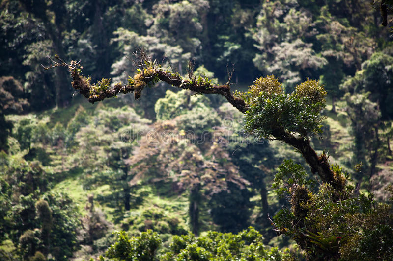 Epiphytes and bromeliads on branch in Costa Rica royalty free stock photography