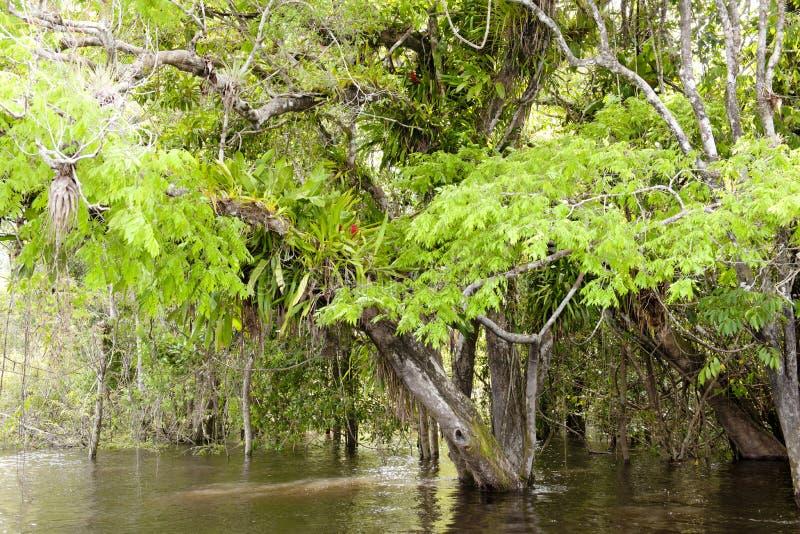 Epiphytes en el Amazonas imágenes de archivo libres de regalías