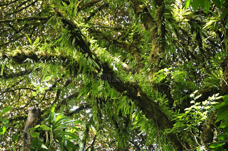 Lush epiphytes highlight the trees in Monteverde Cloud Forest Reserve. The Monteverde Cloud Forest Reserve was established in 1972 and initially covered some stock photo