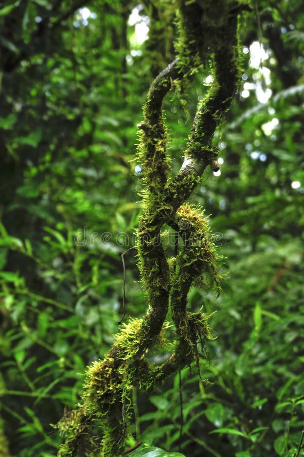 Epiphytes, plants growing on other plants, thrive in the moist environment in Monteverde Cloud Forest Reserve. The Monteverde Cloud Forest Reserve was stock photos