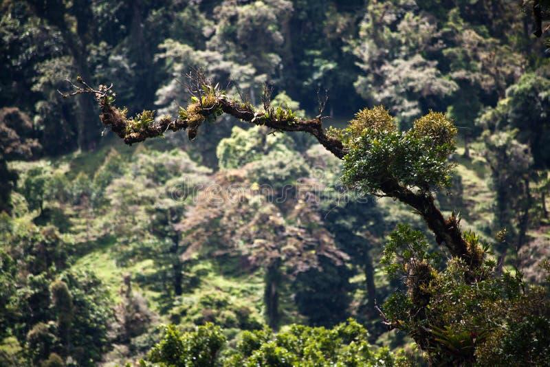 Epiphytes und bromeliads auf Zweig in Costa Rica lizenzfreie stockfotografie