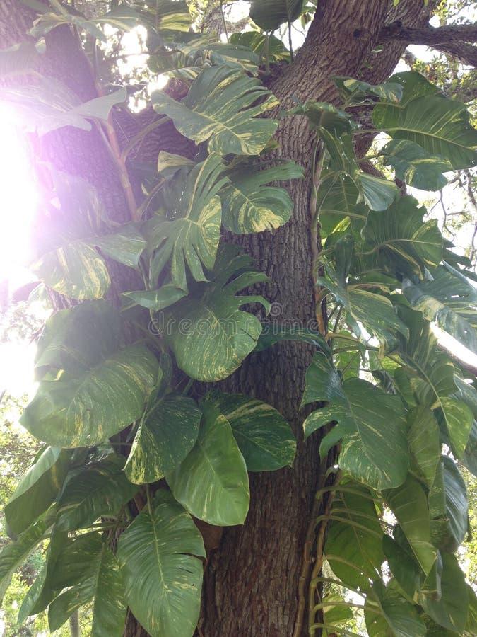 Epipremnum Aureus (Money Plant) Plant Climbing Tree. Epipremnum Aureus (Money Plant) Plant Climbing Tree in South Daytona, Florida royalty free stock photos