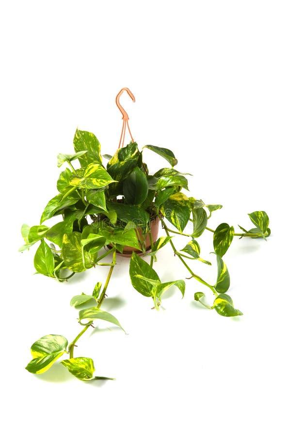 Epipremnum Pinnatum Aereum photographie stock libre de droits