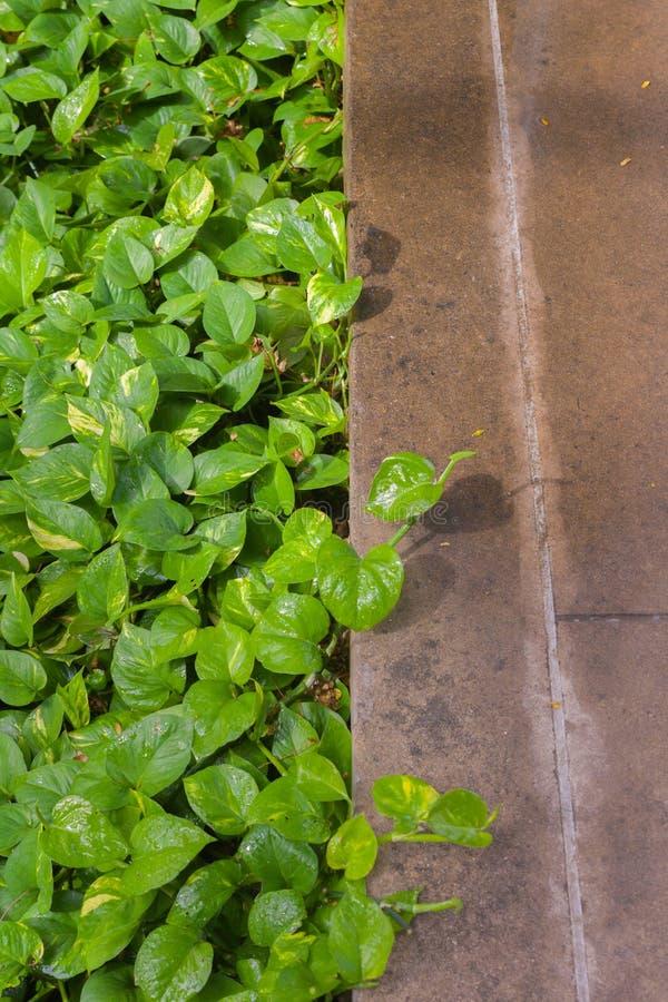Epipremnumaureum buiten het park royalty-vrije stock foto's