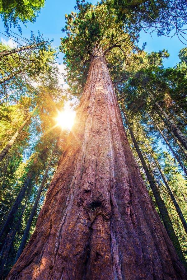 Epische Sequoiaplaats stock foto's