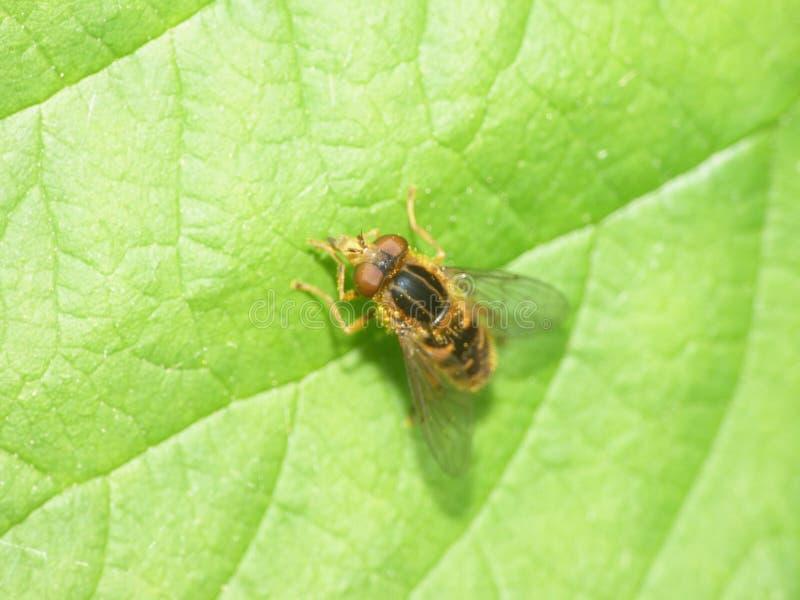 Epistrophe nitidicollis Hoverfly -英国 免版税图库摄影