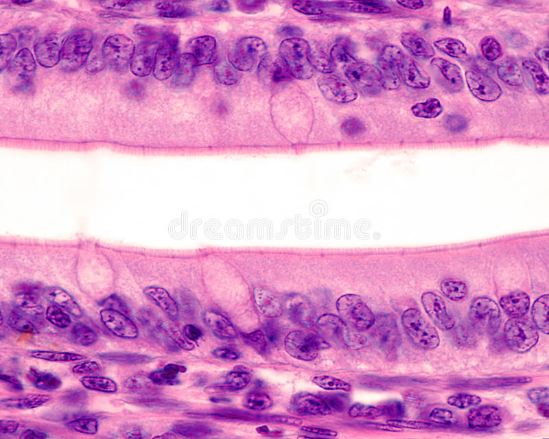 Epitélio intestinal Beira de escova foto de stock royalty free