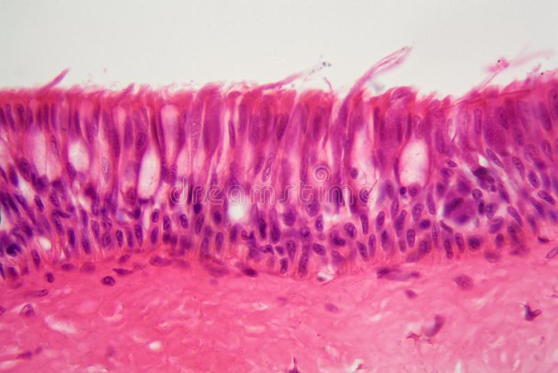 Epitelio ciliato sotto il microscopio fotografie stock libere da diritti