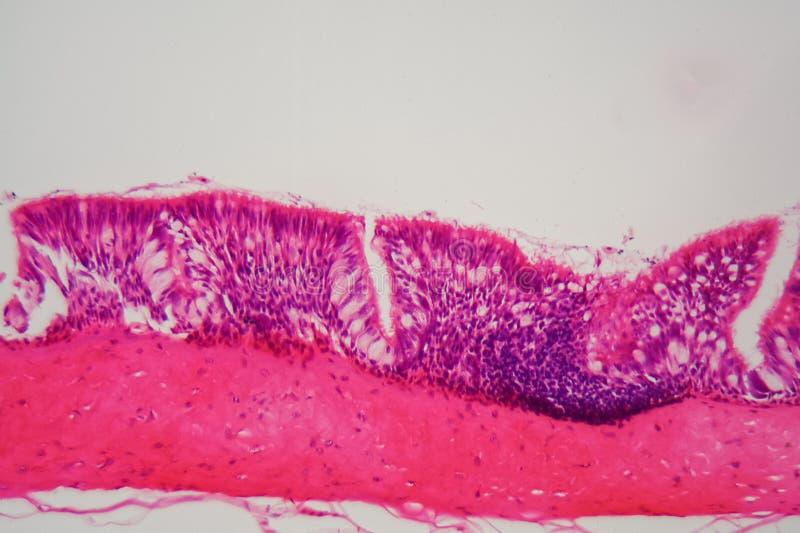 Epitelio ciliato sotto il microscopio immagine stock libera da diritti