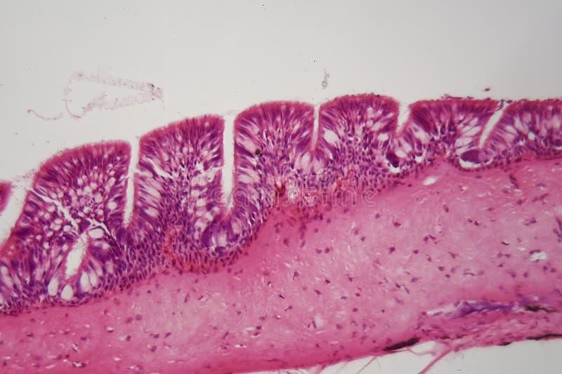 Epitelio ciliato sotto il microscopio fotografia stock libera da diritti