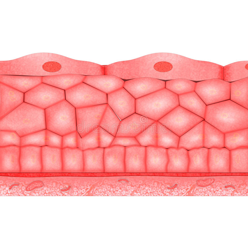 Epitheliaale Weefsels vector illustratie