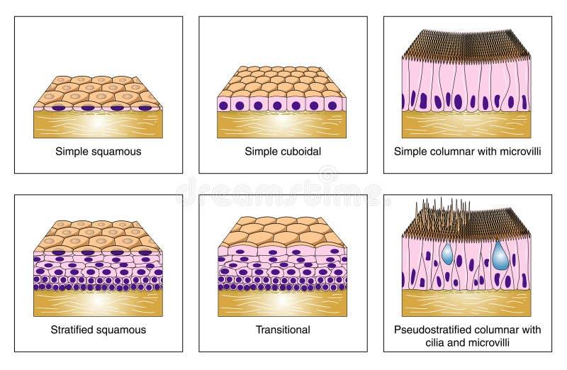 epithelial τύποι διανυσματική απεικόνιση