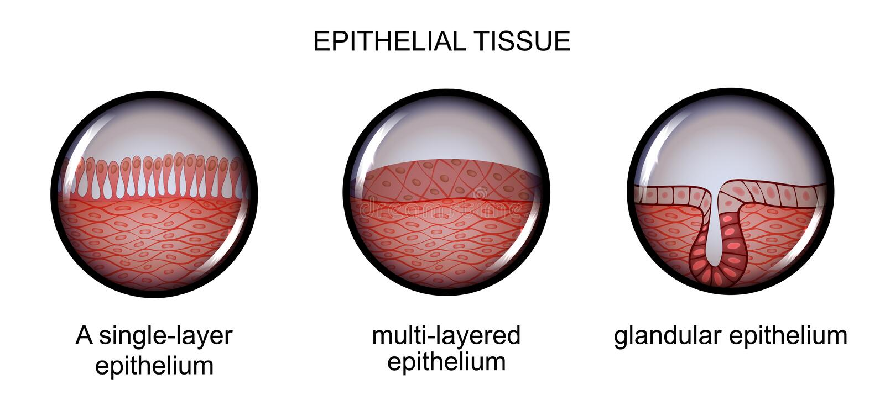 Epithelial Tissue. Types Of Epithelium. Stock Vector - Illustration ...