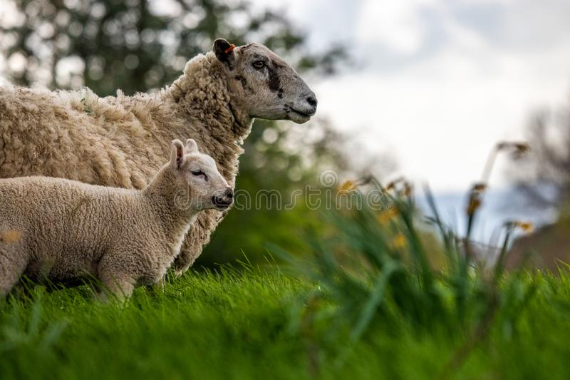 The Epitome Of Spring In The Fields. Composition in the fields of Sussex with the young lamb and daffodils to show of that springtime feeling royalty free stock photo
