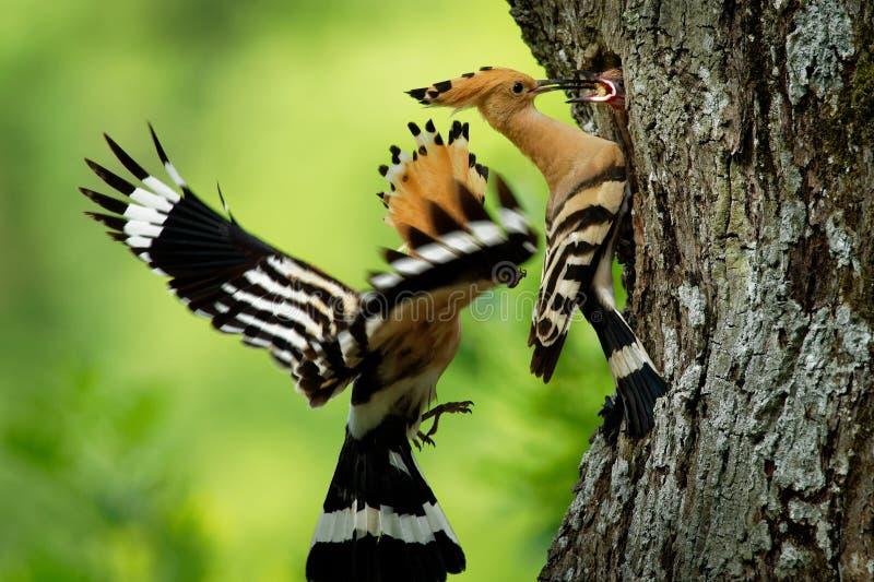 Epops eurasiáticos del Upupa del Hoopoe que le alimentan los polluelos del ` s capturados en vuelo foto de archivo libre de regalías