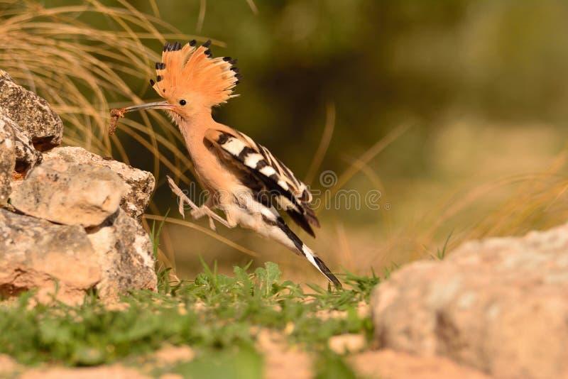 Epops eurasiens de huppe ou d'Upupa, bel oiseau brun images libres de droits