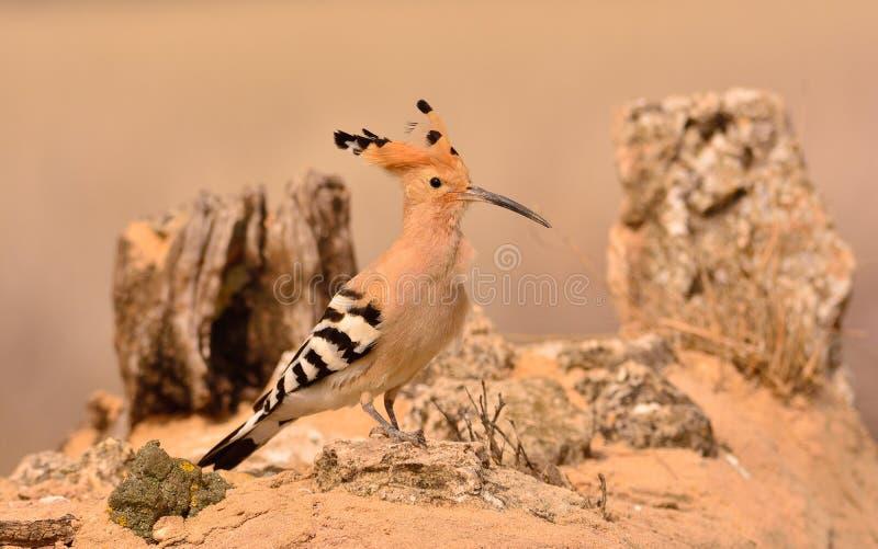 Epops euroasiatici del Upupa o dell'upupa, bello uccello marrone fotografia stock